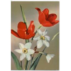 Открытка - Цветы. Тюльпаны, нарциссы. Германия