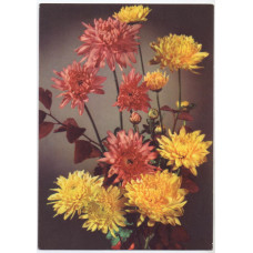 Открытка - Цветы. Хризантема. Германия