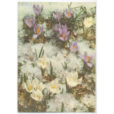 Открытка - Цветы. Шафран. Германия