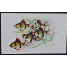 Открытка - Аквариумные рыбки. Барбус Суматранус. СССР, 1968