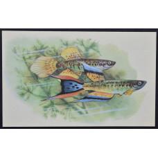 Открытка - Аквариумные рыбки. Фундулус Южный. СССР, 1968