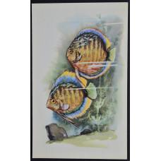 Открытка - Аквариумные рыбки. Дискус. СССР, 1968