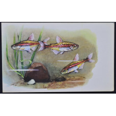 Открытка - Аквариумные рыбки. Грацилис (Светлячок). СССР, 1968