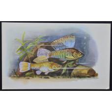 Открытка - Аквариумные рыбки. Моллинезия Велифера (Парусная). СССР, 1968