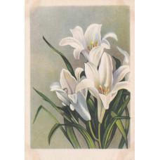 Открытка Белые лилии. 1955 г. Чистая
